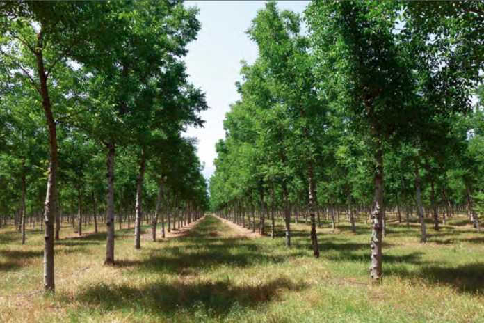 rows of agroforestry trees