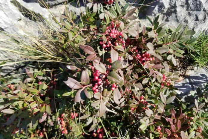 Fruiting lentisk tree