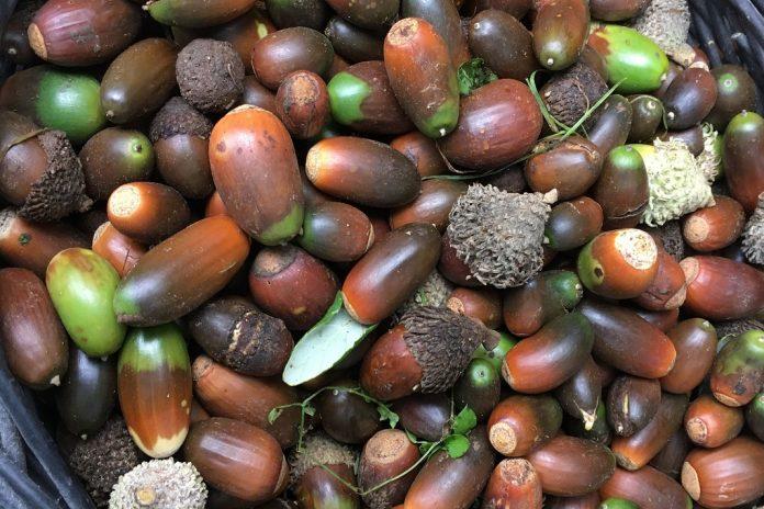 Cork oak seeds (Viterbo, Italy).