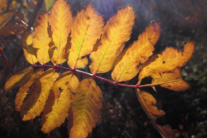Autumnal leaves for sincere project